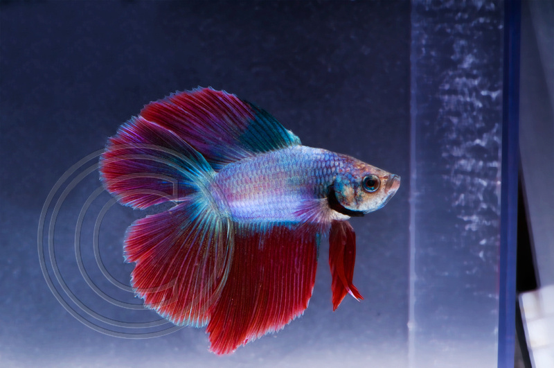 The art and photography of mo devlin the betta fish project for Betta fish mirror