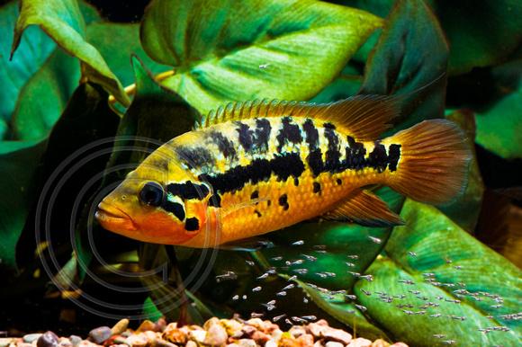 Motaguensis : Parachromis Motaguensis Parachromis motaguensis